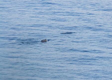 Dofins des del far de St. Sebastià